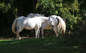 Batemans - Aug 2014 - White Horses Bathed in Sunshine